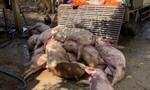 Phát hiện cơ sở giết mổ heo chết quy mô lớn ở Đồng Nai
