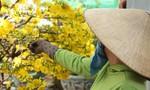Thủ phủ mai vàng ở Sài Gòn nhộn nhịp phục vụ Tết Nguyên đán