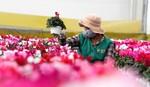 Những loại hoa Tết độc lạ ở xứ ngàn hoa