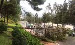 Đà Lạt: Thông lớn ngã đổ gây nguy hiểm cho người đi đường