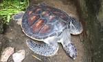 Cứu cá thể rùa quý được phóng sinh tại chùa để thả về biển