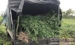 Phát hiện vụ trồng hơn 2.100 cây cần sa tại Gia Lai