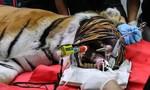 Lắp răng nanh bằng vàng cho hổ