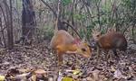 Phát hiện loài cheo cheo tưởng đã tuyệt chủng ở Việt Nam