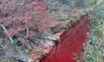 Dòng sông liên Triều nhuộm đỏ máu lợn nhiễm bệnh