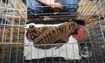 Giải cứu 2 chú hổ con còn sống trên đường đi tiêu thụ