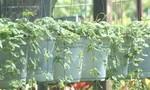 Lạ đời cây rau má lại có hương thơm của bạc hà
