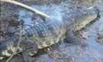 Người dân bắt cá sấu rơi từ xe tải xuống đường, giao nộp công an