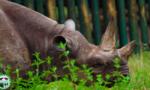 """Con tê giác """"già nhất Thế giới"""" vừa qua đời ở Tanzania"""