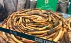 Thu giữ lượng ngà tương đương của 500 con voi trên đường về VN