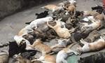 Hàng trăm con mèo bỗng dưng lăn ra chết nghi bị 'đầu độc'