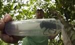 Loài ong lớn nhất thế giới tưởng tuyệt chủng nhưng vẫn tồn tại