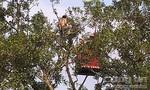 Cảnh sát đưa mẹ đến thuyết phục người đàn ông leo ngọn cây la hét