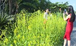 Vạt bông cải vàng rực bên đường níu chân người du xuân