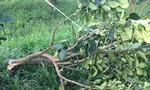 Kẻ xấu chặt phá vườn bưởi Năm Roi, thiệt hại hàng trăm triệu
