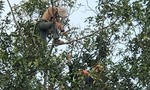 Bị truy đuổi, tên trộm xe trèo lên ngọn cây cố thủ