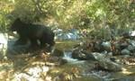 Loài gấu đen quý hiếm xuất hiện ở DMZ liên Triều