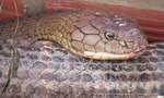 Clip cận cảnh cặp rắn hổ nặng 60kg bắt được trên núi Cấm