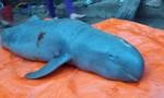 Xác cá nược Minh Hải sẽ về Bảo tàng thiên nhiên Việt Nam