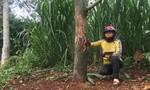 Vườn sầu riêng bị kẻ gian đầu độc, thiệt hại gần 1 tỷ đồng