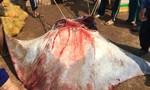 Ngư dân Lý Sơn bắt được 2 con cá đuối gần nửa tấn/con