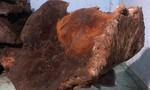 Người dân hái được một cây nấm chò 70kg