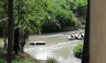 Phát hiện nhiều xác heo chết trôi trên suối ở Đồng Nai