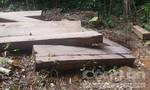 Mật phục nhiều ngày bắt đối tượng khai thác gỗ cổ thụ