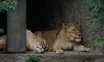 Clip diễn tập bắt sư tử 'siêu kute' của sở thú Nhật