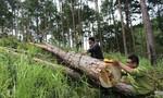 Bắt nhóm đối tượng cưa hạ 70 cây thông ở Đà Lạt