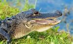 Mỹ: Cảnh báo hiện tượng 'cá sấu phê thuốc' do tội phạm vứt... ma túy bừa bãi
