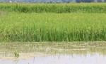 Vỡ đê bao Quảng Điền, hơn 1.000 ha lúa ngập trong nước