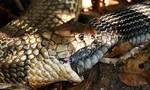 Cận cảnh rắn tự ăn đuôi của mình vì... quá đói?