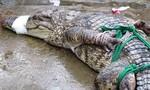 Video người đàn ông Ấn Độ tay không bắt cá sấu