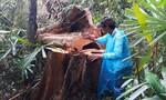 Hàng loạt cây cổ thụ trong rừng ở huyện Bắc Trà My bị đốn hạ
