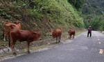Màn lừa đảo chiếm đoạt đàn bò ngoạn mục