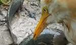Mang chim đi bắt cá, thu về chiến lợi phẩm không tưởng