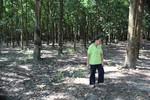 Giao đất trồng cao su 50 năm rồi đột ngột thu hồi: Người dân kêu cứu!