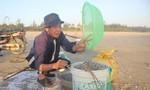Ngư dân Quảng Nam trúng mùa ốc ruốc, kiếm tiền triệu mỗi ngày