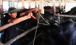 Dịch lở mồm long móng đang lan rộng ở Quảng Ngãi