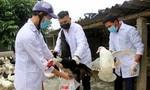 Tiêu hủy gần 1.000 con gà, vịt nhiễm cúm A/H5N1 ở Trà Vinh