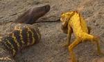 Đại chiến giữa tắc kè hoa và rắn hổ ngựa vằn