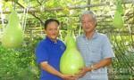 Ngắm vườn bầu trái nặng tới 30 kg ở Cần Thơ