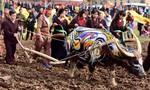 Thích thú với những chú trâu rực rỡ sắc màu ở Lễ hội Tịch Điền