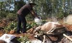 Khoảng 1.600 con gia súc ở Quảng Ngãi bị lở mồm long móng
