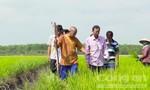 """Sự thật về giống lúa """"Thiên Đàng"""""""