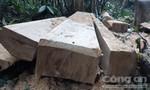 Rừng gỗ dổi trăm tuổi bị lâm tặc đốn hạ