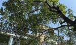 Sao chưa xử lý cây xanh đè dây điện ở TP.Quy Nhơn?