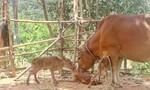 Bò sinh một lúc 3 con bê