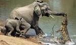 Clip cá sấu cả gan định ăn thịt voi rừng